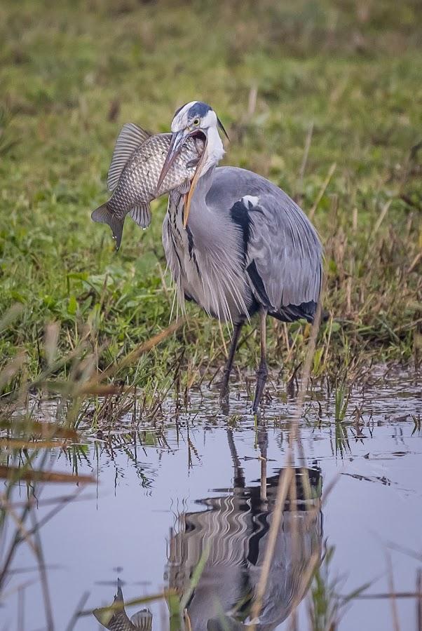 breakfast by Marjan Gresl - Animals Birds ( mouth, fish, gray heron, breakfast, birds, lake )