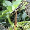 Bare-throated Tiger Heron and Orange-belly Swamp Snake