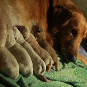 Selamat atas kelahiran anak dari Ichiban Von Jehuda :* by Nugroho Kristanto - Animals - Dogs Puppies