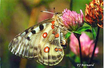 """Photo: """"Parnassius apollo"""" , le roi des montagnes - Papillon sous protection - Aime l'altitude - Ici sur trèfle incarnat à Barles (04) prés de Digne."""