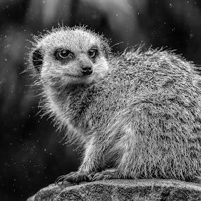 Sentry in the rain by Barry Smith - Black & White Animals ( rain, monochrome, black and white, animals, meerkat,  )