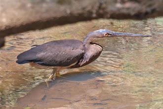Photo: Agami Heron