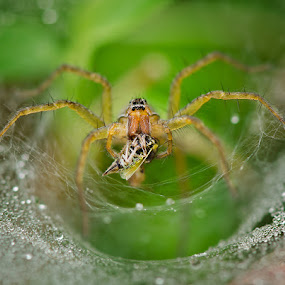 Fresh Snack by Irfan Marindra - Animals Insects & Spiders ( macro, spider )