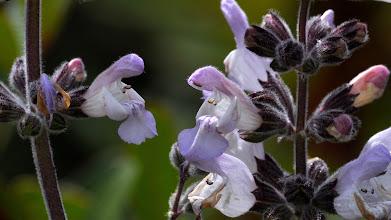 Photo: Salvia triloba L./ Salvia fruticosa (Labiatae), Three-lobed Sage