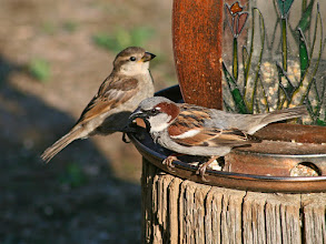 Photo: #BirdPoker: Sparrows curated by +Phil Armishaw  I'll start with a pair of house sparrows.