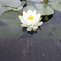 Fragrant/White Water-lily