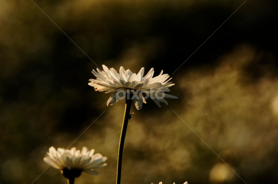 White flowers by Cristobal Garciaferro Rubio - Nature Up Close Flowers - 2011-2013 ( white flower, field flower, daisies, daisy, flowers )