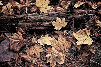 Photo: Trampled under foot. The Norway maples have dropped their leaves. These non-indigenous trees are taking over New England woodlands, pushing out the sugar and red maples. As the years go on, these will become the dominant hues of autumn in these parts.