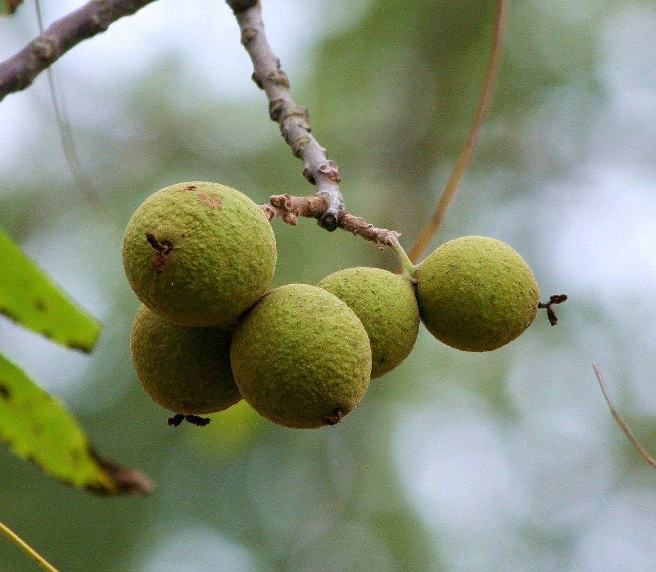 Black Walnut hulls hanging from a black walnut tree, encased in a tough green outer covering.