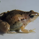 Mukhlesur's Narrow-mouthed Frog