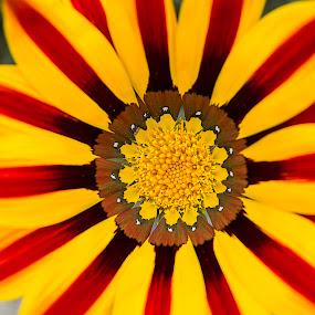 Just look at me by Warren Chirinos Pinedo - Flowers Flower Gardens ( look, red, bee, colors, blacket, gaillardia, beauty, yellow, garden, flower )