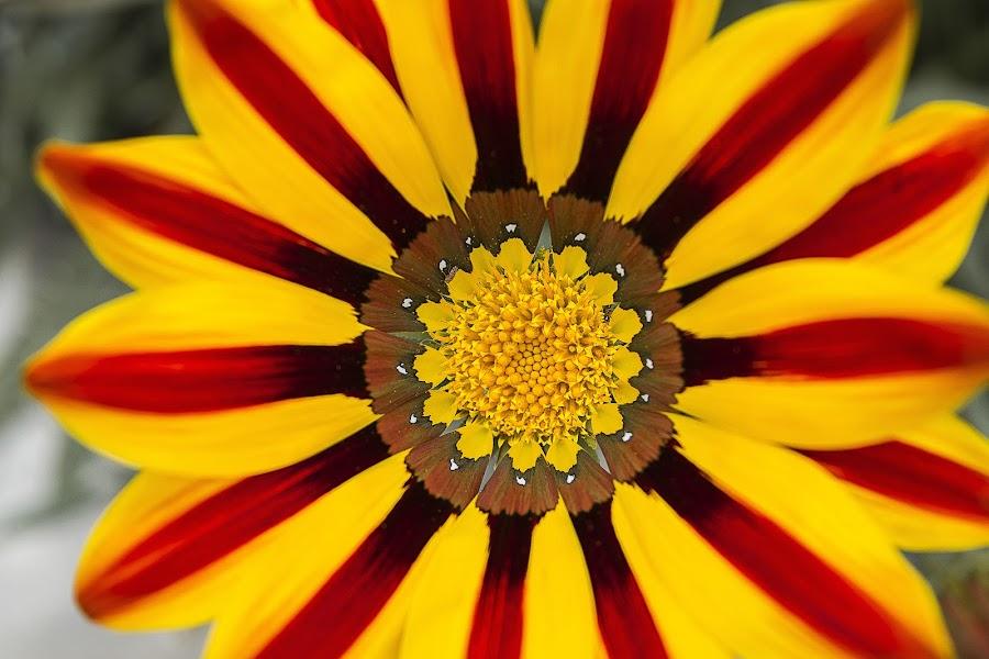 Just look at me by Warren Chirinos - Flowers Flower Gardens ( look, red, bee, colors, blacket, gaillardia, beauty, yellow, garden, flower )