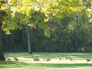 Photo: Line of Canadian geese under a golden autumn tree at Eastwood Park in Dayton, Ohio.