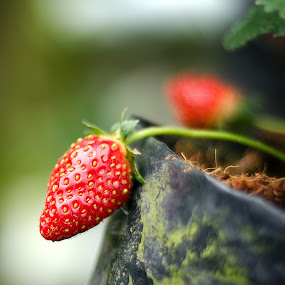 Strawberry at tree by Mohammad Khairizal Afendy - Nature Up Close Gardens & Produce ( nobody, juicy, diet, cameron, farmland, leaf, plantation, macro, nature, pwcvegetablegarden, calories, dessert, fruit, agriculture, malaysia, highlands, health, strawberry, row, many, unripe, nutrition, sweet, food, natural, culture, plant, nutritious, tropical, highland, farm, berry, fresh, strawberries, asia, closeup, green, delicious, agricultural, up, field, organic, red, background, grow, ripe, healthy, summer, freshness, garden, growth,  )