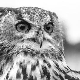Owl by Garry Chisholm - Black & White Animals ( raptor, owl, bird of prey, nature, garry chisholm )