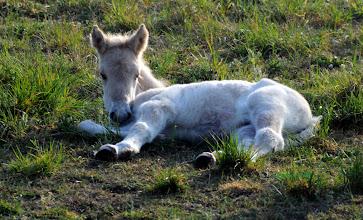 Photo: Norwegisches Fjordpferd Fohlen