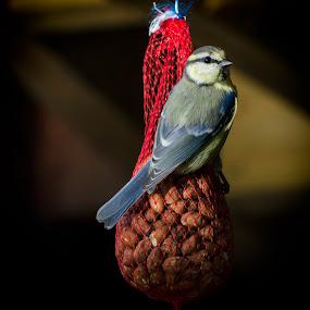 Dinner by Gerd Moors - Animals Birds ( sit, bird, pimpelmees, outdoor, nuts, eat,  )