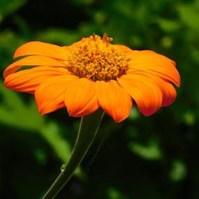 Orange daisy by Annie Cator - Flowers Single Flower ( orange daisy flower stem green dewdrop,  )