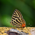 Long-Banded Silverline