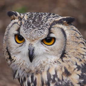 wise Owl by Sharon Bennett - Animals Birds ( face, wise, owl, feathers, eyes,  )