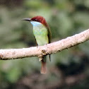 Blue-Throated Bee Eater (male)