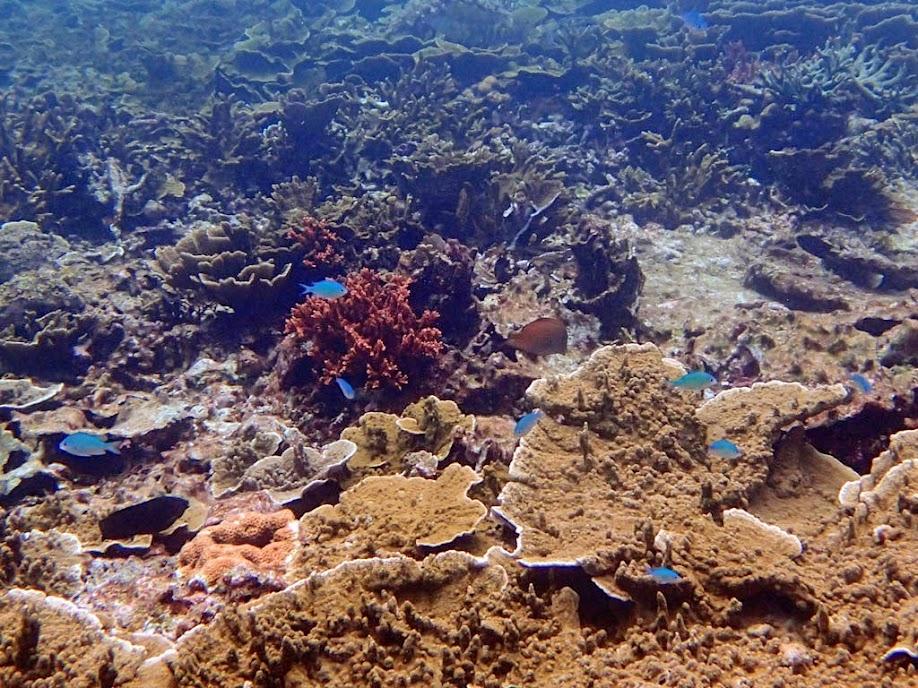 Chromis viridis (Green Chromis), Small Lagoon, Miniloc Island, Palawan, Philippines.