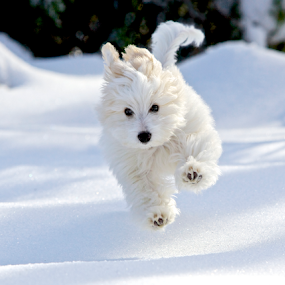 by Jeannette Thalmann-Bendeth - Animals - Dogs Puppies ( natural light, playful, jumping, joy, henri, cute, run, running, natural background, playing, cold, nature, happy, snow, action, mamal, coton de tulear, animal, moving, animalia, male, play, charging, young, new jersey, jump, canine, joyful, winter, animal kingdom, pet, adorable, zoology, puppy, paws, dog, companion dog, natural,  )