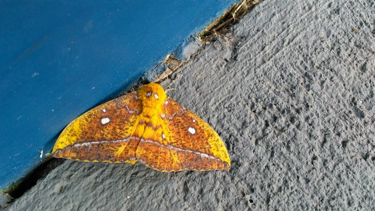 Eacles moth