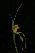 Photo: Caladenia procera (side view)