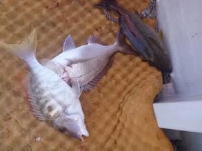 Photo: 3種混合! イサキ、真鯛、フエフキ!