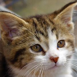 Annie by Linda    L Tatler - Animals - Cats Kittens (  )