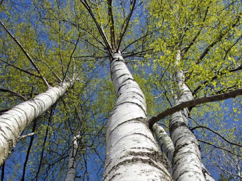 https://postmediaedmontonjournal2.files.wordpress.com/2015/09/beautiful-birch-trees-with-fresh-green-leaves-file-photo-po.jpeg?quality=55&strip=all&w=840&h=630&crop=1