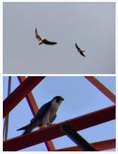 Photo: 撮影者:福本 健 ハヤブサ(ミサゴ) タイトル:ミサゴの魚を狙うハヤブサ 観察年月日:2014年9月11日 羽数:1羽 場所:多摩川立日橋上流 区分:猛禽類 メッシュ:立川2B コメント:多摩川の土手を自転車で走っていたら、トビが何かわからないが鳥ともつれながら飛んでいたので、近づいて行ったら、もう一羽小型のタカがとびこんできて、3羽が一緒になってぐるぐる回った。小型のタカが高圧鉄塔に止まったので見たらハヤブサだった。もう1羽は魚を足に下げたミサゴであった。ピンボケの証拠写真が撮れた。