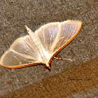 Jasmine Moth - White Pearl