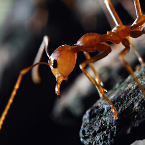 The Worker by Dx Bragais - Animals Insects & Spiders ( macro, hunting, worker, ants, insect )