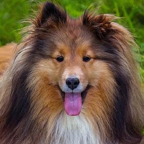 Happy little Girl by Sue Delia - Animals - Dogs Portraits ( shetland sheepdog, smile, dog, sheltie,  )