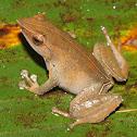 Horned Land Frog
