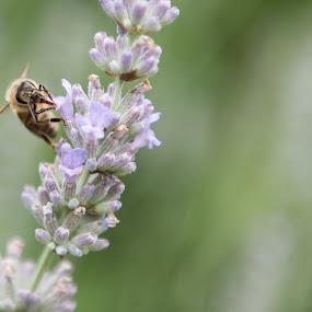 Lavender by Johannes Schaffert - Nature Up Close Other plants ( nature, bee, summer, lavender, garden, honey )