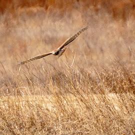 Hunting Red Tail by Jim Hendrickson - Novices Only Wildlife ( bird, bird of prey, red, oklahoma, hackberry flats, hawks, wildlife, birds, tail, hawk )