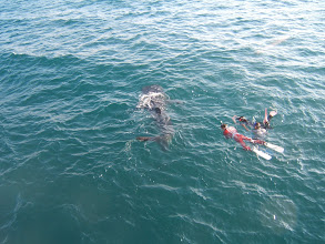 Photo: Snorkelers from another boat close in on another - this one's a baby, not much bigger than the snorkelers.