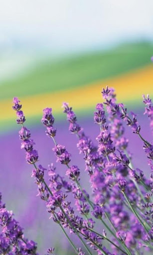 Lavender Wallpapers