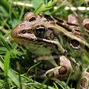 Northern Leopard Frog (Brown Morph)