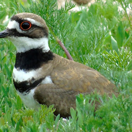 KILLDEER by Cynthia Dodd - Novices Only Wildlife ( nature, grass, nature up close, animals, birds, wildlife )