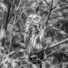 Sleepy Barred Owl by Debbie Quick - Black & White Animals ( barred owl, raptor, debbie quick, owl, nature, debs creative images, new york, birds of prey, outdoors, bird, animal, millbrook, cary institute of ecological studies, black and white, wild, hudson valley, wildlife )