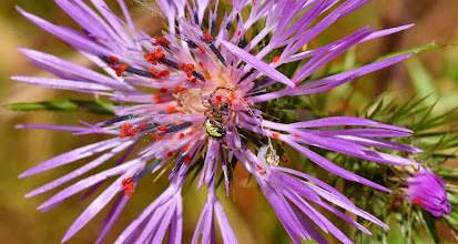 Photo: Galactites tomentosa