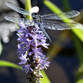 by Denise O'Hern - Animals Insects & Spiders