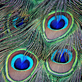 Tail Lights by Tamsin Carlisle - Nature Up Close Other Natural Objects ( pattern, plumage, feathers, tail, peacock, eyes,  )