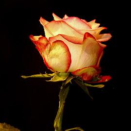Rose n000102 by Gérard CHATENET - Flowers Single Flower