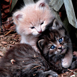 BlueEyes by Chris Bizic-Beihl - Animals - Cats Kittens ( cats, blue eyes, kittens, siblings, strays )