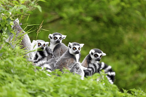 Most visitors to Madagascar come to see its population of lemurs, of which the island has about 100 species. Picture: 123RF/PAUL MAGUIRE